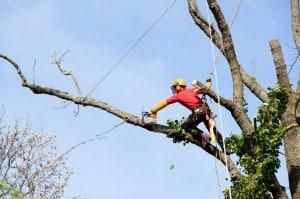 Artisan élagage d'un arbre